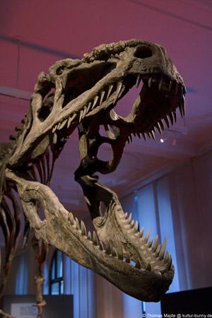 Dinosauerier_Giganotosaurus_Carolinii_Kopf